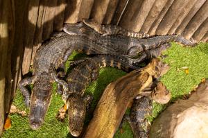 #Alligators