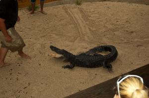 Nice Alligator...